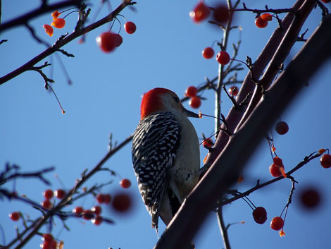 red-bellied-woodpecker470.jpg
